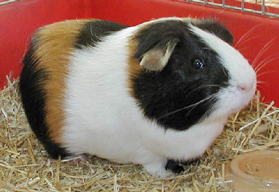 American Guinea Pig, Guinea Pig Care and Keeping American Guinea Pigs
