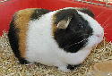 Guinea Pig Care Fact Sheet