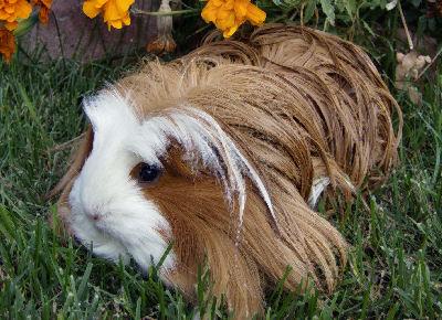 Coronet Guinea Pig, Guinea Pig Pictures