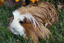 Animal-World info on Coronet Guinea Pig