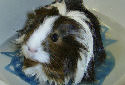 Click for more info on Silkie Guinea Pig
