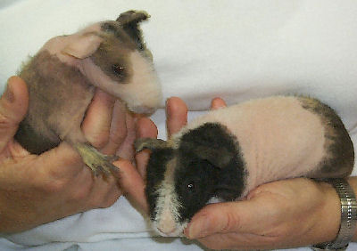 Skinny Pig or Hairless Guinea Pig, Guinea Pig Pictures