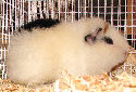 Animal-World info on Teddy Guinea Pig