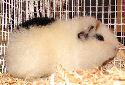 Animal-World info on Teddy Guinea Pig