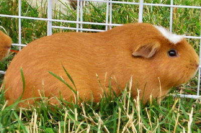 White Crested Guinea Pig, Guinea Pig Pictures