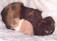 American Guinea Pig, Picture of a Guinea Pig family