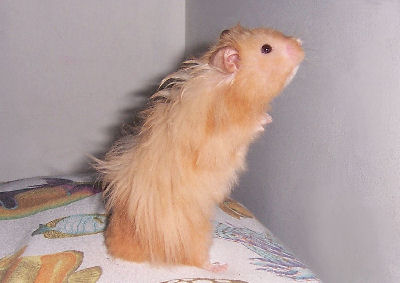 Picture of a Longhaired Golden Hamster, Angora Hamster