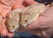 Tan Russian Dwarf Hamsters