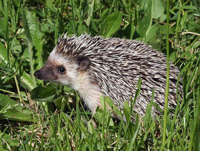"African Pygmy Hedgehog Picture, ""Maple"""