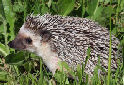 The African Pygmy Hedgehog
