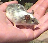 """Dora"" is a Common mouse, and a great Pocket Pet!"