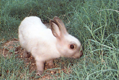 Picture of Brittania Petite Rabbit