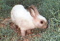 Click to learn about Pet Rabbits