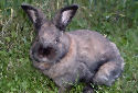 Click for more info on Cinnamon Rabbit