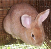 Picture of a Creme D'Argent Rabbit (female)