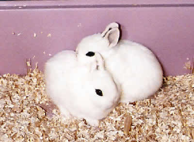 Dwarf Hotot Rabbit, also known as Eyes of the Fancy