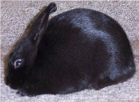 "PIcture of ""Deva"", a Black Havana Rabbit"