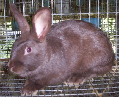 "Picture of ""Hammer"", a Chocolate (Brown) Havana Rabbit"
