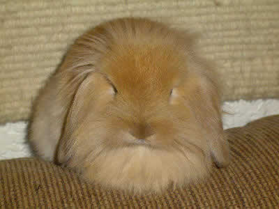 Lionhead Lop Rabbit