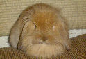 Click for more info on Lionhead Lop Rabbit