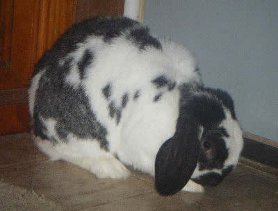 Picture of a Mini lop Rabbit