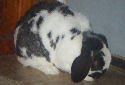 Click for more info on Mini Lop Rabbits