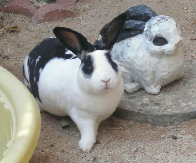 Picture of a cute Mini Rex Rabbit
