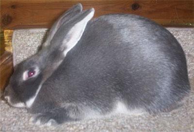 Blue Silver Marten Rabbit