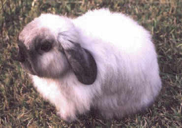 American Fuzzy Lop Rabbit Picture