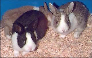 Dutch Rabbits, known as Hollander Rabbits in Holland!