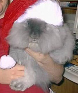 """Bob"" is an English Angora Rabbit"