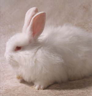 Picture of a French Angora Rabbit