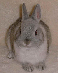 """Bonnie"" is a female Netherland Dwarf Rabbit"
