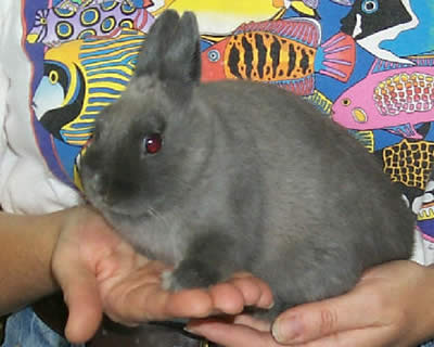 Picture of a Netherland Dwarf Rabbit