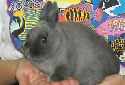 Animal-World info on Netherland Dwarf Rabbits