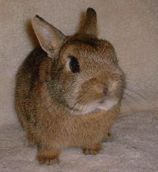 """Thumper"" is a male Netherland Dwarf Rabbit"