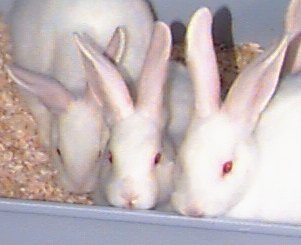 Picture of New Zealand Rabbit babies!