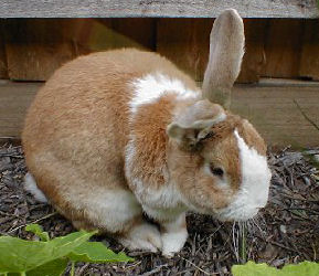 """Bob"" is a New Zealand Rabbit"