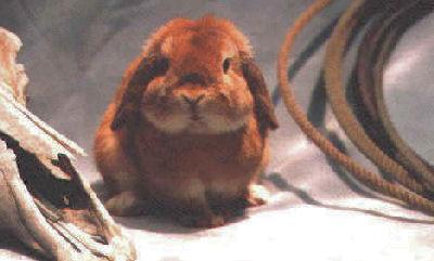 Orange Holland Lop Rabbit