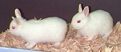 Picture of Polish Rabbit babies!