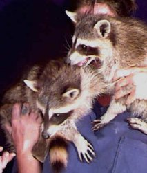 "Raccoon Pictures of ""Rufus"" and ""Dufus"""