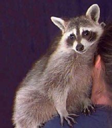 Raccoon Picture: quot;Rufus""