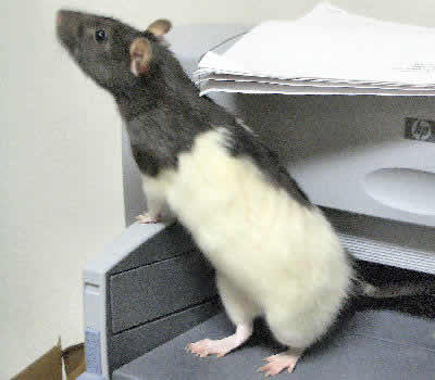 Picture of a Black-Hooded Fancy Rat
