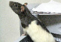 Click to learn about Pet Rats