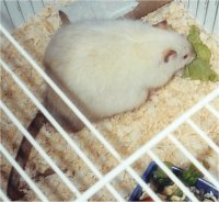"Picture of a Fancy Rat, ""Vanilla"""