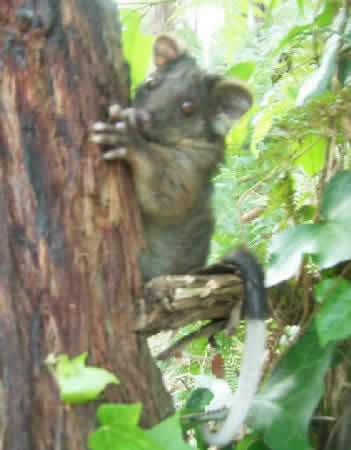 "PIcture of ""Monkey Boy"" a Common Ringtail Possum"