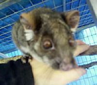 """Monkey Boy"" a Common Ringtail Possum"