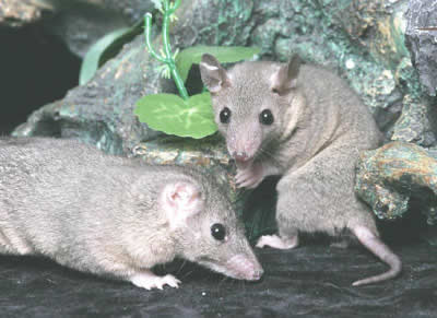 "Picture of ""Kisak"" and ""Suki-da"", two Short Tailed Opossums"