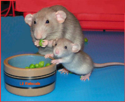 Pet Rats - Why They Make Great Pets
