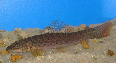 Cherry Fin Loach, Acanthocobitis rubidipinnis